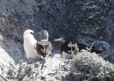 A mated pair consisting of a male Blue-footed Booby and a female Brown Booby produced a chick on Santa Barbara Island, California, as shown here on 12 Jul 2020. Any booby nesting in California is a recent phenomenon, and the lack of available conspecifics presumably promoted this unusual pairing. Photo © Naresh Satyan.