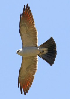 June is a prime month for Mississippi Kite to appear in Southern California, as demonstrated by this adult present at Mojave Narrows Regional Park, San Bernardino Co 13–14 Jun 2020 (photographed here on the first date). Photo © Matthew A. Grube.