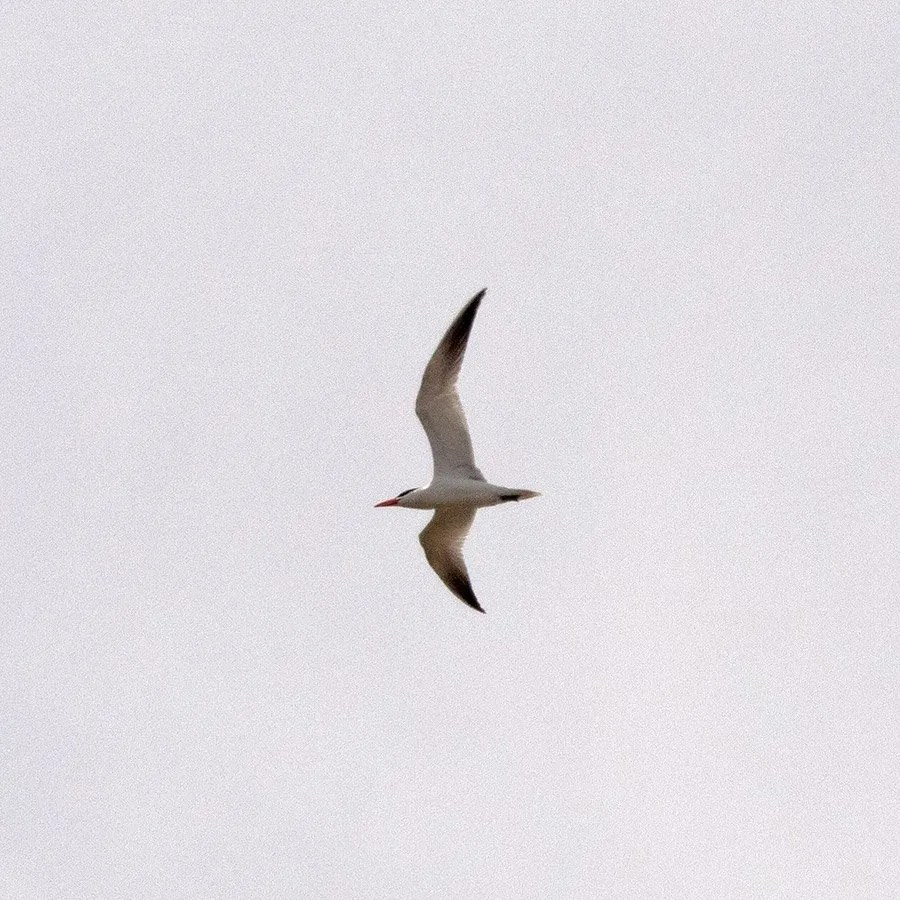 Caspian Tern going west...