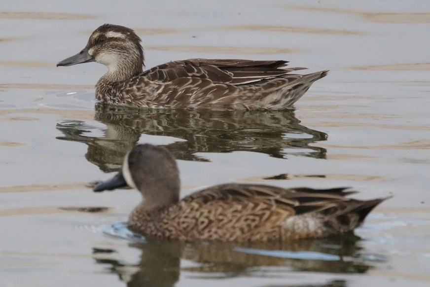 Returning for its second winter, this female Garganey was present at the Salton Sea State Recreation Area at the northeast corner of the Salton Sea, Riverside County, California 19 Oct 2020–10 Mar 2021. This photo, taken on 1 Nov, nicely shows the diagnostic face pattern. Photo © Mark Scheel.