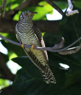 Anthony Levesque discovered and photographed Guadeloupe's 1st record of Common Cuckoo at La Désirade Island on 22 Nov 2020. This was only the 3rd record for the Caribbean. Photo © Anthony Levesque.