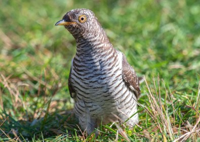 This Common Cuckoo touched off a scramble to find Snake Den Farm State Park in Johnston, Providence Co, Rhode Island when it was found there on 1 Nov 2020. The bird, the third record for the Lower 48 and second for New England, stayed through 8 Nov 2020, the day this photo was taken. Photo © Kari McDonald.
