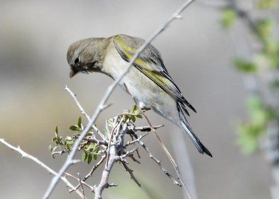 This Lawrence's Goldfinch had many hoping for a winter finch invasion for Texas when it lingered for several days at the bird blind in Franklin Mountains State Park, El Paso Co, Texas on 22 Oct 2020. Photo © Liz DeMoultrie