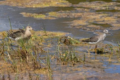 This juvenile Ruff dwarfed a nearby Lesser Yellowlegs at the Kahuku Aqua Ponds on Oʻahu, Hawaii. Photographed here on 15 Sep 2020, it was present 9 Sep–18 Sep. Photo © Eric VanderWerf.