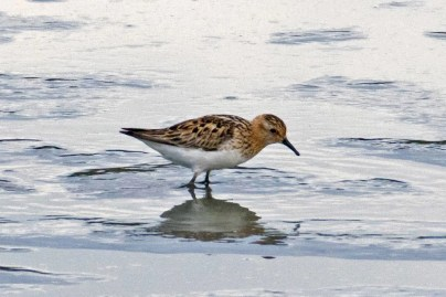 This adult Little Stint in alternate plumage was present at San Joaquin Wildlife Sanctuary in Irvine, Orange County, California on only one day, 17 Aug 2020. The dark spotting on the breast separates this stint from the similar Red-necked Stint in the same plumage. Photo © William B. S. Black.