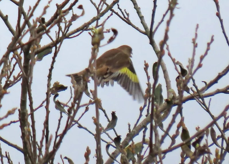 This Oriental Greenfinch in Florence, Lane Co, 17–18 Oct 2020 proved elusive. It joins a November record from Victoria, British Columbia and a winter record from Arcata, California as only the third Western Hemisphere record south of Alaska. Photo © Christopher Hinkle.