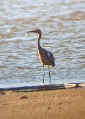 This Reddish Egret, Nebraska's fourth, was a surprise on a Missouri River sandbar in Dixon Co 17 Aug 2020. Photo © Shannon Langland.