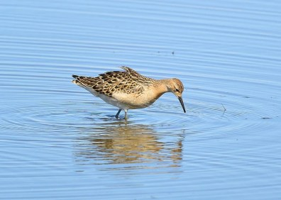 One of several rare shorebirds in Alberta in the fall of 2020, this Ruff – shown here on 1 Sep – was enjoyed by many at Calgary. Photo © Gerry Fox.