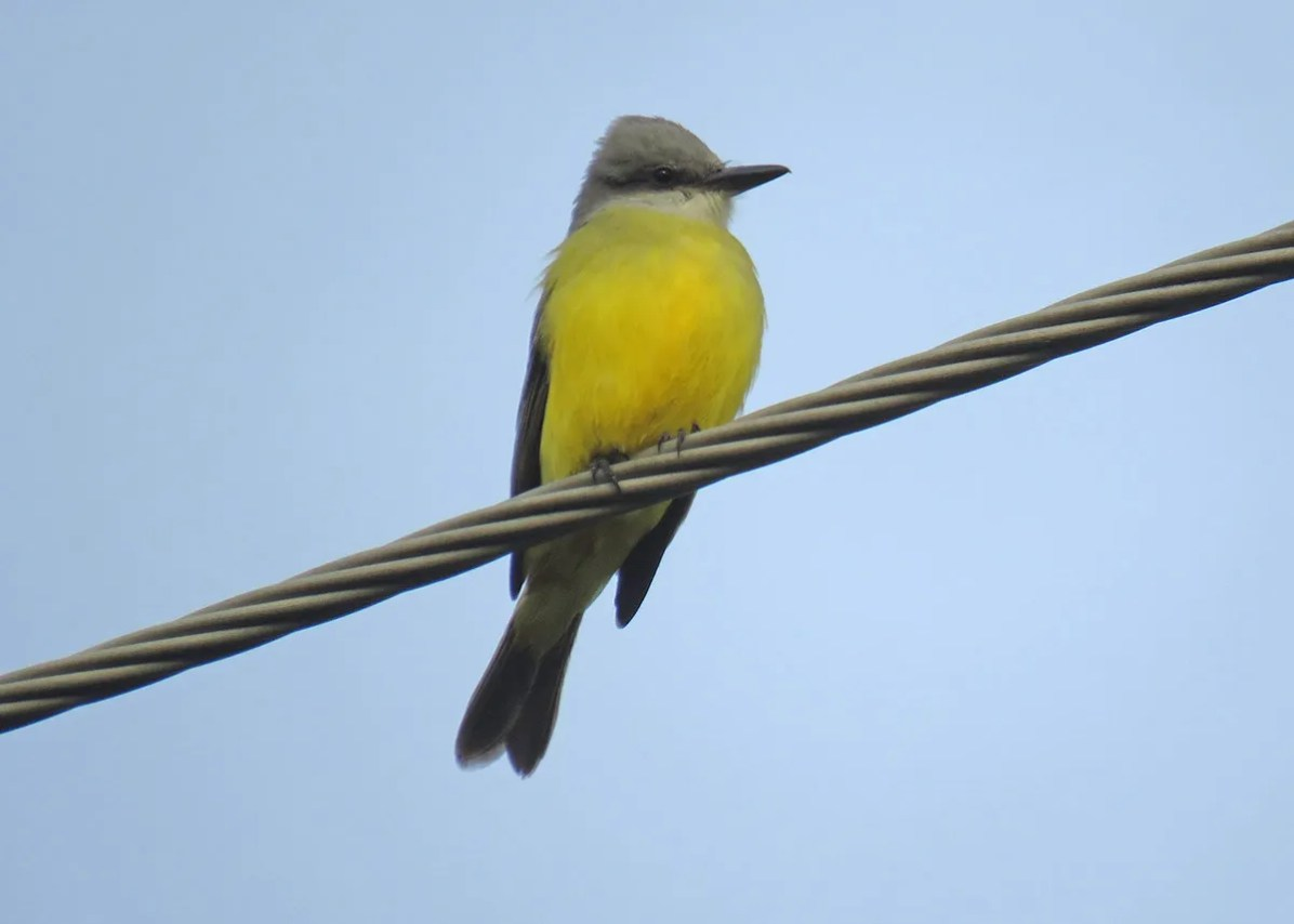 Ontario's third, this Tropical Kingbird was a one-day wonder in Thessalon on 7 Nov. Photo © Carter Dorscht.