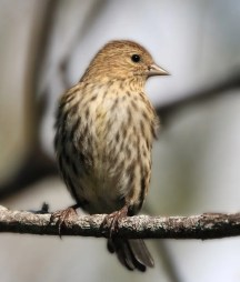 A Pine Siskin photographed on 25 Oct 2020 at Ferry Point Park was one of 30-plus recorded in Bermuda 10 Oct–7 Nov, for only the third such irruption in 50 years. Photo © Neal Morris.