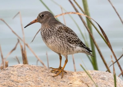 Only the second-ever Purple Sandpiper for Alberta was this nicely photographed bird at Didsbury, present 18(here)–19 Sep 2020. Photo © Maureen Hills-Urbat.