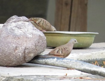 These two Ruddy Ground Doves in Luis Lopez were the most northerly reported in the state during the season. This photo was taken on 26 Oct. Photo © Sharon Fullingim