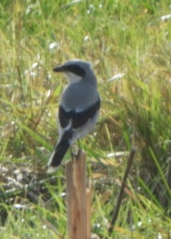 A Loggerhead Shrike, now a significant New England rarity, was at East Bridgewater, Plymouth Co, Massachusetts from 6–15 Nov 2020 (here 6 Nov). It was the only one reported in New England or the Middle Atlantic States in the fall of 2020. Photo © Brian Vigorito.