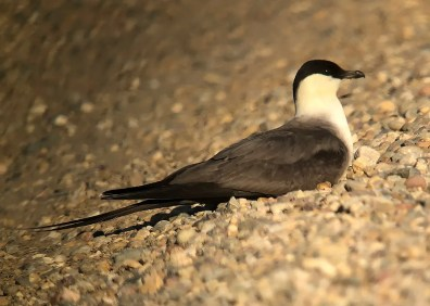 Long-tailed Jaegers can be quite confiding when they rest on shore during fall migration. This adult lingered at Medicine Hat, Alberta, in early Aug 2020. Photo © James Fox.