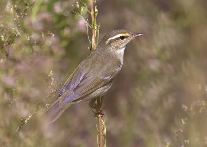 This Arctic or Kamchatka Leaf Warbler at Mile Square Regional Park in Fontana, Orange County, was known to be present only on 20 Sep 2020. Since both Arctic and Kamchatka Leaf Warblers have the potential to occur in California, and may only be separable in the field by song, it is not known which of the two this bird represented. Photo © Curtis A. Marantz.