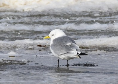 This Black-legged Kittiwake was a rare find near Twin Lakes Beach, at the southern end of Lake Manitoba, on 17 Oct 2020. It was the third overall for the south of Manitoba and the first since fall 1996. Photo © Shirley J. Rushford Guinn.