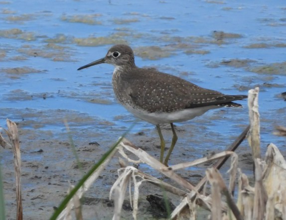 A Solitary Sandpiper at Kahuku Aqua Ponds, Oʻahu provided Hawaii's sixth record. Photographed here on 7 Oct 2020, it was present on the north shore at Kahuku Aqua Ponds 2 Oct–12 Oct and then briefly refound in south Oʻahu at the Hawaiʻi Prince Golf Club on 25 Oct. Photo © Kellen Apuna.