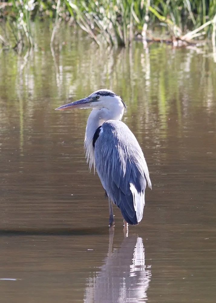 This Gray Heron, relocated at Shipyard Picnic Park, Nova Scotia 22 Aug 2020, had been absent since last season. Photos © George Forsyth.