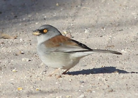 This Yellow-eyed Junco, a Southern Great Plains regional first and only record north and east of its sedentary range mostly in Mexico, was found and photographed at Lake Scott, Scott Co, KS 2 Nov 2020 by Sara Shane. It has remained through the period (second photo 28 Nov). Photos © Sara Shane and Corey Entriken.