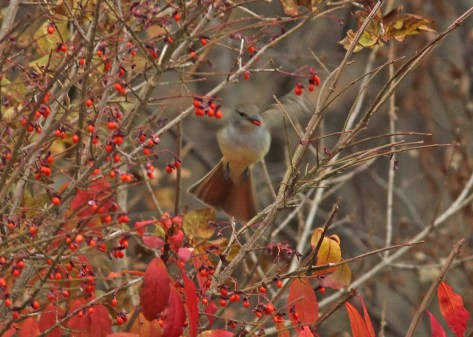 The discovery of this Ash-throated Flycatcher in Clarence Cormier's yard in Grande-Digue provided significant excitement for many as the species is casual to New Brunswick. 6 Nov 2020. Photos © Gilles Belliveau.