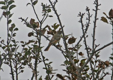 Present in Port La Tour, Nova Scotia 6–11 Nov 2020, this Ash-throated Flycatcher provided that province with its sixth record of the species. 6 Nov 2020. Photo © Julie Smith.