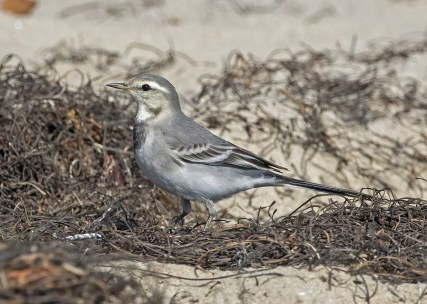 This young White Wagtail was photographed on the last day of its short stay at Ledbetter Beach in Santa Barbara, Santa Barbara County 7–8 Nov 2020. It was one of at least five found in Southern California this fall. Photo © David Pereksta.