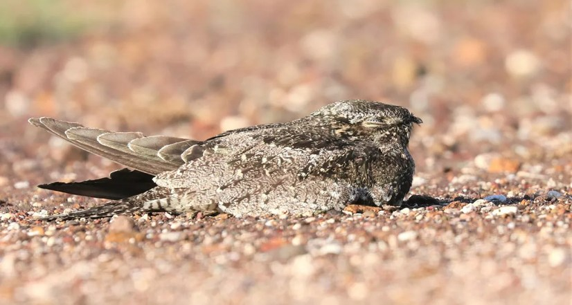 One of a flock of 19 Common Nighthawks seen and photographed on La Désirade Island, Guadeloupe on 19 Oct 2020. Photo © Anthony Levesque.