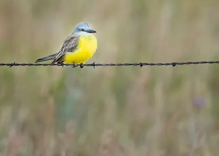 Providing a first record for the Prairie Provinces was this Tropical/Couch's Kingbird, presumably Tropical, near Saskatoon, Saskatchewan on 16 Aug 2020. Subsequent searches were unsuccessful. Photo © Deborah Mac Ewen.