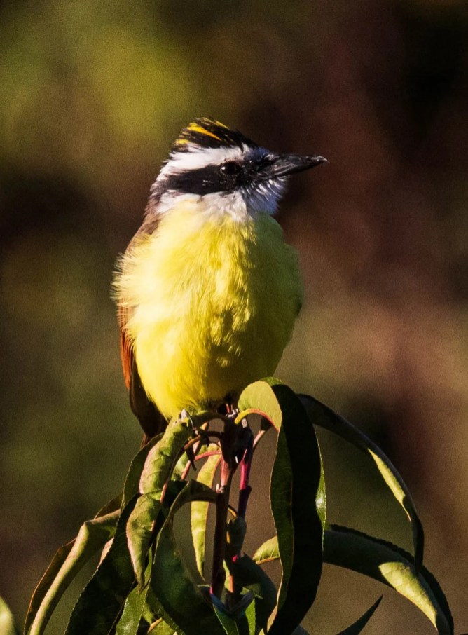 This Great Kiskadee in Arroyo Hondo is the northernmost record for the state. It was present for an extended period of time, with the earliest report from Jul. This photo was taken on 15 Oct. Photo © Bob Friedrichs