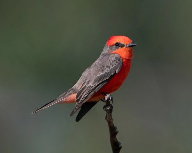 Flashy and brilliant, this adult male Vermilion Flycatcher was one of three returning to a site near Summerdale, Baldwin Co, Alabama beginning 6 Nov 2020. The species is rare but regular in fall and winter on the Alabama coast. 13 Nov 2020. Photo © Karen Chiasson.