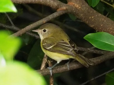 A dainty regular rarity along the northern Gulf in fall, this Bell's Vireo was in Gulfport, Harrison Co, Mississippi 27–28 Sep 2020 (here 27 Sep). Photo © James W. Randolph.
