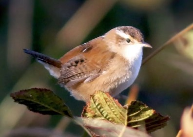 Marsh Wren is casual to Newfoundland and Labrador, so this individual at Grate's Cove, Newfoundland 13 Oct 2020 was a very good find. Photo © Jared Clarke.