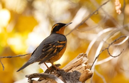 This Varied Thrush in the Corrales Bosque was seen by many in Oct. Photo © Jack Parlapiano