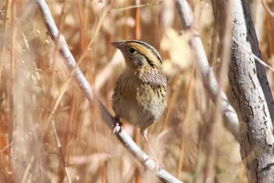 Notoriously hard to photograph, this LeConte's Sparrow put on a three day show at Storrie Lake SP. Photo © Wyatt Egelhoff