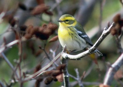 Townsend's Warbler has become a more frequent vagrant to insular Newfoundland over the last few fall seasons. This individual was first discovered at Cape Broyle 26 Oct 2020 and lingered in the area long enough that others could enjoy its presence. Photo © Jared Clarke.