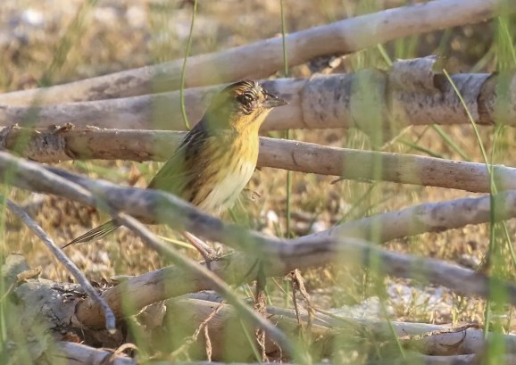 """Two days after the Santa Rosa individual was discovered, this bird was found at Ute Lake SP, representing the 2nd """"chaseable"""" individual for the state. Photo © Raymond VanBuskirk"""