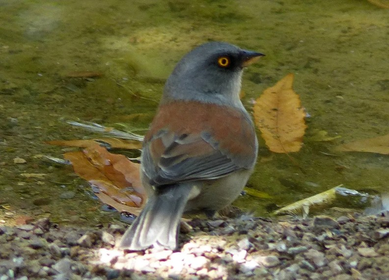 Recorded well outside of their expected NM range, this Yellow-eyed Junco spent three days in Radium Springs in mid-Oct. Photo © Marcy Scott