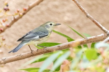 This stunning Yellow x Black-throated Blue Warbler was seen on the University of New Mexico campus for a single day in mid Sep. Photo © Michael Andersen