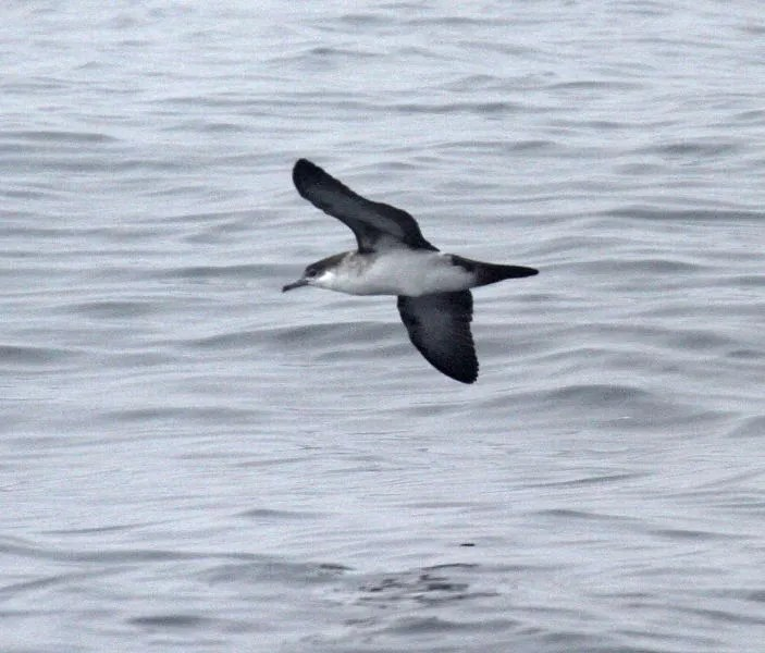 This Audubon's Shearwater south of Grand Manan, NB 11 Aug represents the first confirmed record for that province. Photo by Durlan Ingersoll.