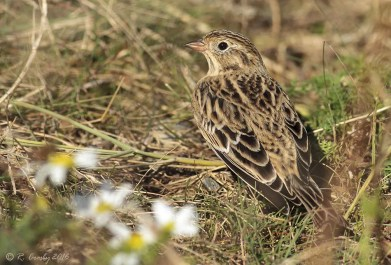 An unexpected find, a hatch year Smith's Longspur was discovered 11 Oct. by Russel Crosby at West Head, NS, securing that province's first record of the species. Photo by © Russel Crosby