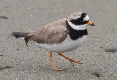 This Common Ringed Plover, photographed 30 July at Biscay Bay, Avalon Pen., was considered quite unusual for NL in summer. Photo by © Bruce Mactavish.