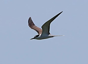 This Bridled Tern, photographed 6 July on Machias Seal I., provided NB's first record of the species. Photo by © Ralph Eldridge..