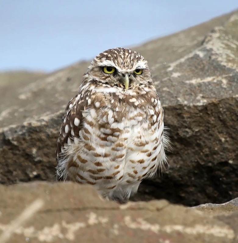 This Burrowing Owl lingered at Castalia Marsh, G. M. I., NB 1 Aug.–30 Sept., providing that province with its second record of the species. Photo by © Jim Wilson.