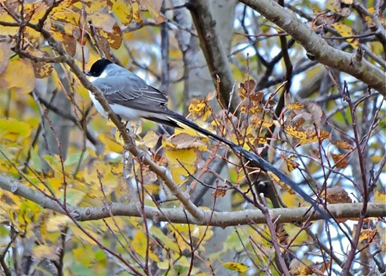 A rare find in NB, this Fork-tailed Flycatcher was discovered on Miscou Island, 11 Oct. and last seen 24 Oct. Photo by © Frank Branch.