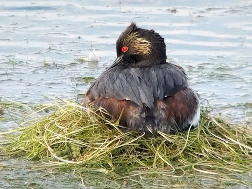 Eared Grebe has a long history of breeding in New Mexico's mountains, but nesting on the eastern plains is a relatively new development. This adult was part of a significant breeding population at the Clovis water treatment ponds, Curry County, 3 July 2017. Photo by © Grant M. Beauprez.