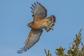Believed to be a repeat winter visitor, this Red-shouldered Hawk reappeared 3 Dec. at Pleasant Lake, NS and remained for the season. Photo by © Jason Dain.