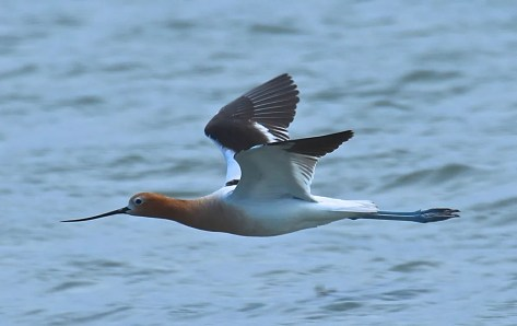 This American Avocet was highly appreciated at L'Isle-Verte 28 May. Photo by © R. St-Gelais