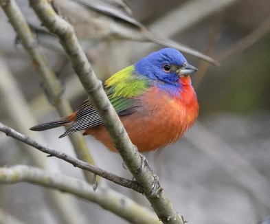 The Painted Bunting is increasingly reported in spring in the province. Two birds were reported this spring, including this male at Îles de la Madeleine 21 May. Photo by © Alain Richard.