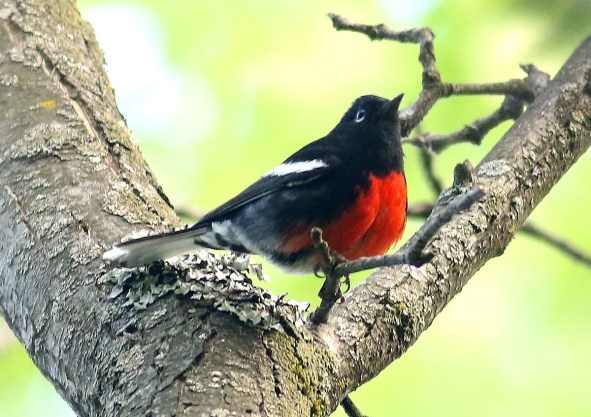 About 4,000 kilometers away from its breeding range in the southwestern U. S., this Painted Redstart caused a big surprise at Québec City 1–2 June 2017. Photo by © Olivier Barde