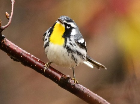 Seen almost annually in fall, this Yellow-throated Warbler stopped at Franquelin 21-25 Oct. (here 25 Oct.). There are now about 60 records in the province. Photo © by Olivier Barden